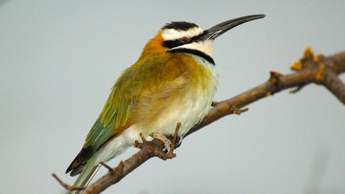 Photo of Bee-eater