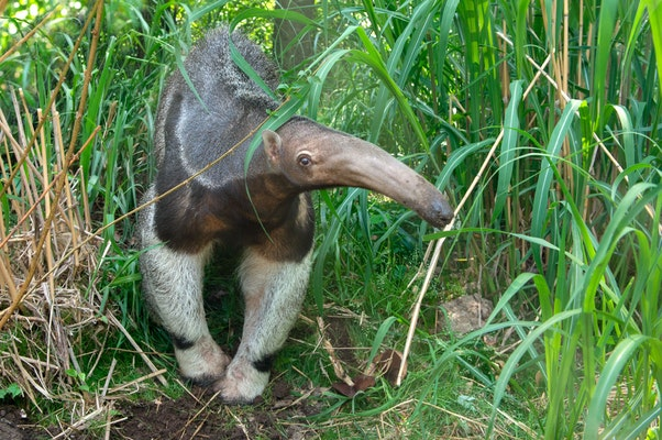 Photo of Giant Anteater