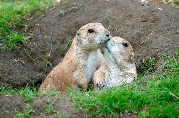 Photo of Prairie Dogs