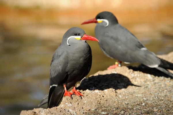 Photo of Inca Tern
