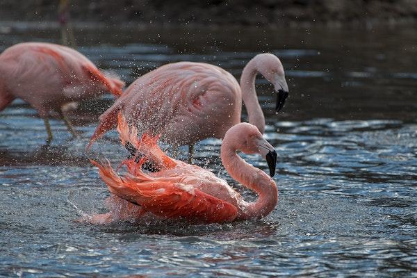 Photo of Flamingo, Chilean