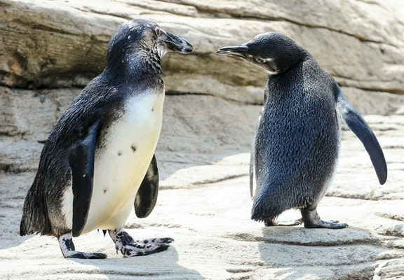 Photo of Black-footed Penguin