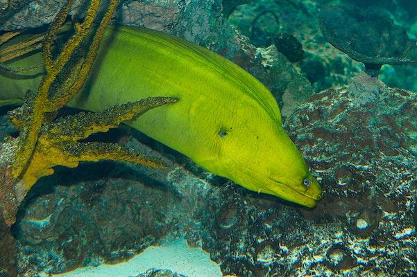 Photo of Green Moray Eel