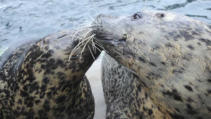 Photo of Harbor Seal