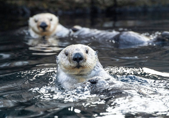 Photo of Sea Otter
