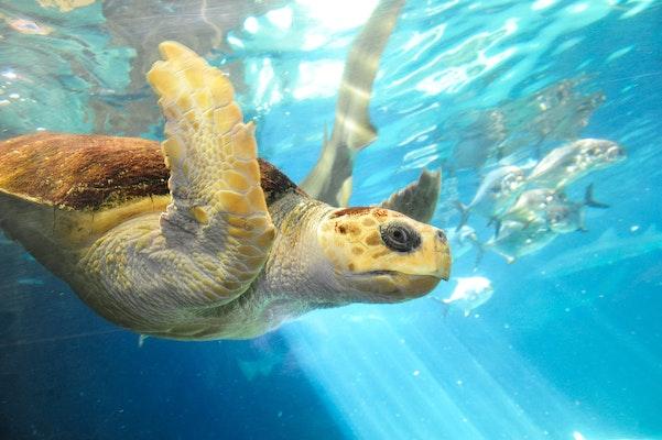 Photo of Loggerhead Sea Turtle