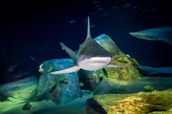 Photo of Sandbar Shark