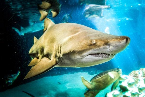 Photo of Sand Tiger Shark