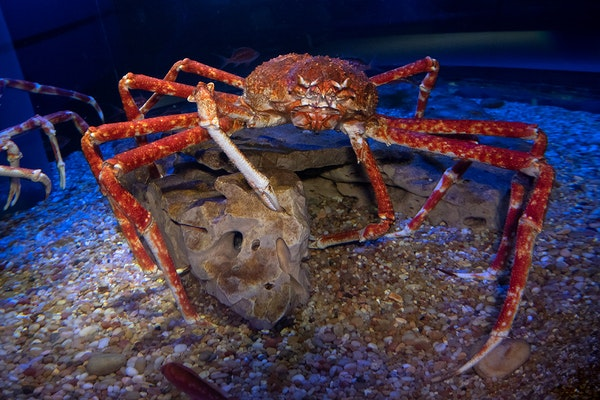 Photo of Japanese Spider Crabs