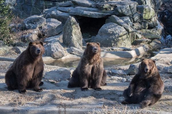 Photo of Brown Bears