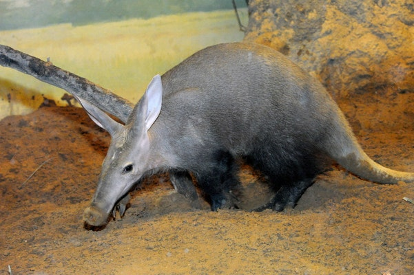 Photo of Aardvark