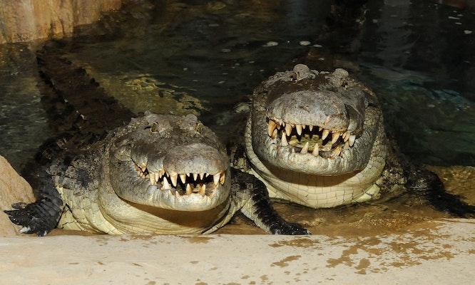 Photo of Crocodiles, Nile
