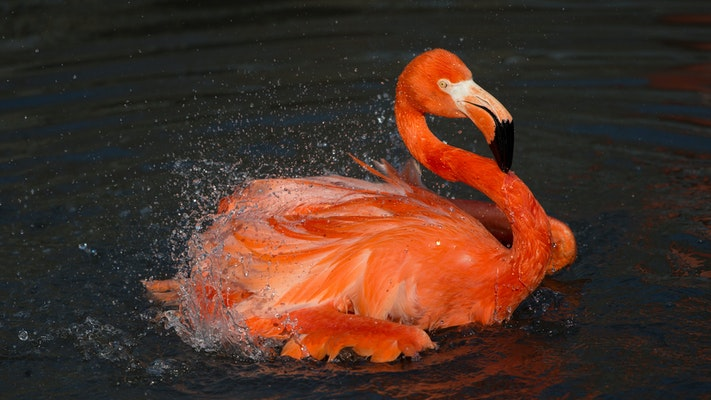 Photo of Flamingo, Caribbean