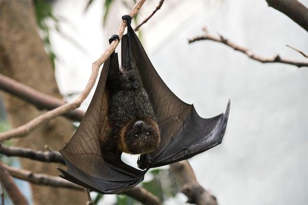 Photo of Fruit Bat