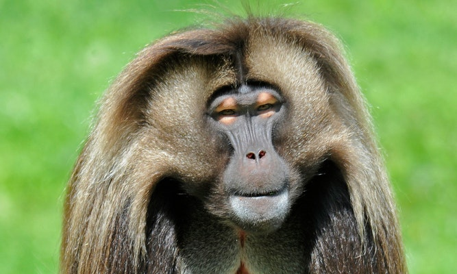 Photo of Gelada Monkey