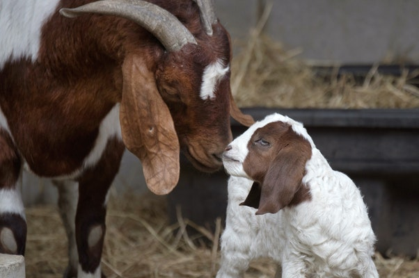 Photo of Goat