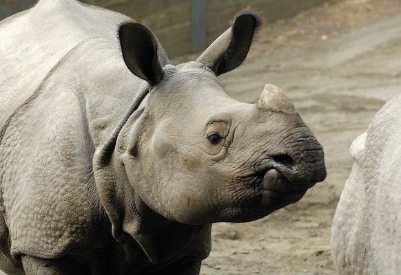 Photo of Rhinoceros, Indian