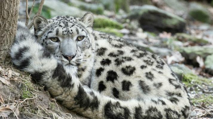 Photo of Snow Leopard