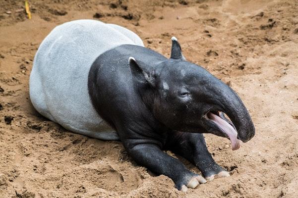Photo of Malayan Tapir