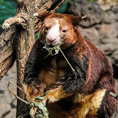 Photo of Tree Kangaroo