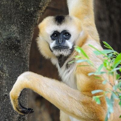 Photo of White-cheeked Gibbon